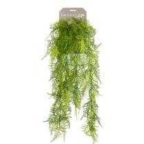Asparagus Plumosus Trailing Plant