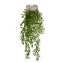 Asparagus Sprengeri Trailing Plant