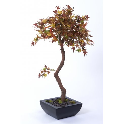 Autumn Acer set in Trapezoid Planter