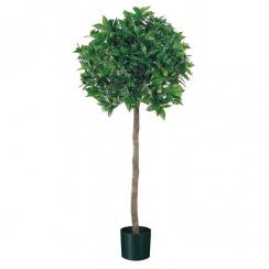 Bay Laurel Tree