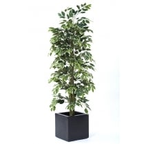 Cane Ficus set in a Black or White Cube Planter