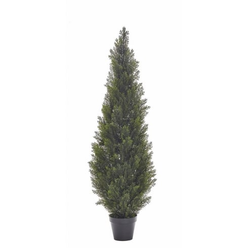 Cedar Conifer Tree