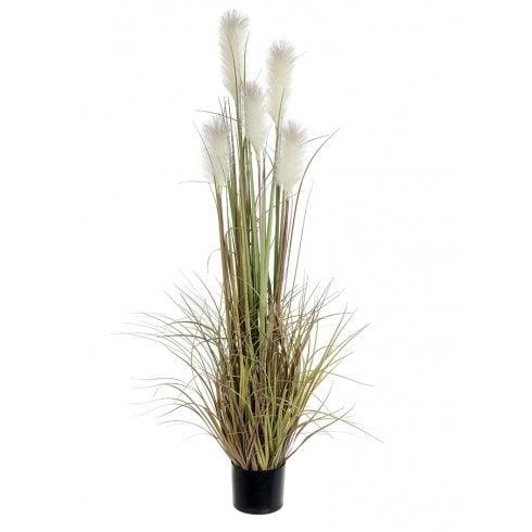 Cream Reed Grass