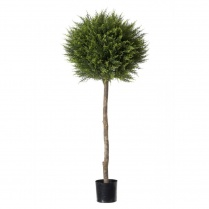 Cypress Conifer Ball Tree