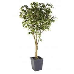 Ficus Benjamina Tree in green or variegated leaf