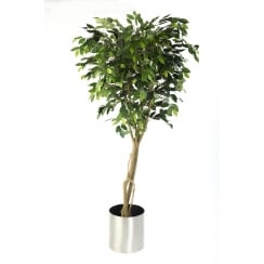 Ficus Benjamina Tree set in a stainless steel planter