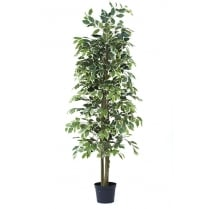 Ficus Premium Bush in green or variegated leaf