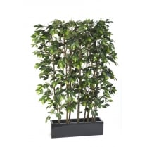 Ficus Screen set in Fibreglass Trough - green or variegated leaf