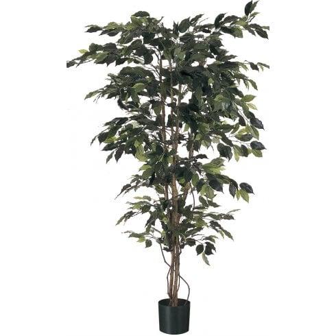 Green Leaf Ficus Tree