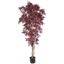 Green or Deep Red Acer Tree
