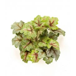 Heuchera Bush