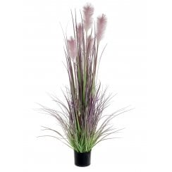 Mauve or Cream Reed Grass
