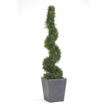 Narrow Boxwood Spiral