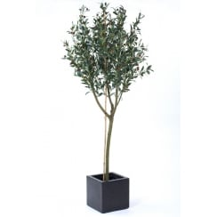 Olive Tree set in a Black or White Cube Planter