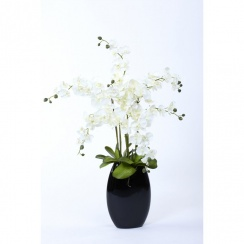 Orchid Display in White or Cerise Pink
