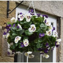 Pansy Hanging Ball in Purple and White