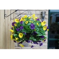 Pansy Hanging Ball in Purple and Yellow