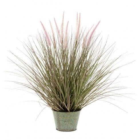 Pennisetum Grass Plant