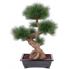 Pine Bonsai in a high-gloss dish