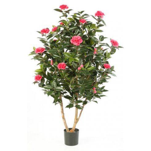 Pink Camellia Plant