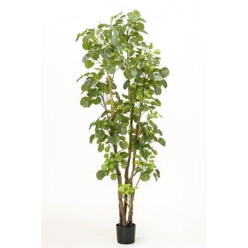 Polyscias Tree