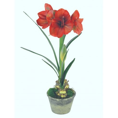 Potted Amaryllis Supreme