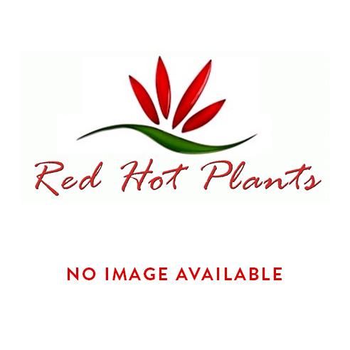 Red Fuchsia Hanging Basket
