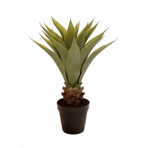 Royal Agave Plant