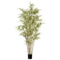 Royal Bamboo Plant