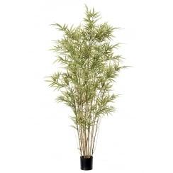 Royal Bamboo Plant