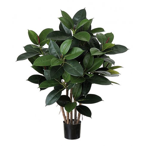 Short Rubber Plant