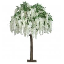 Trailing Cream Wisteria Tree