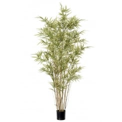 Variegated Bamboo Plant