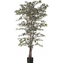 Variegated Leaf Ficus Tree