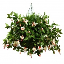 White Fuchsia Hanging Basket